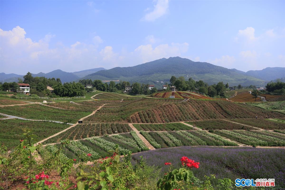 """秋天的田野本是金黄色的,然而在四川省华蓥市禄市镇的六水沟村的""""百万"""